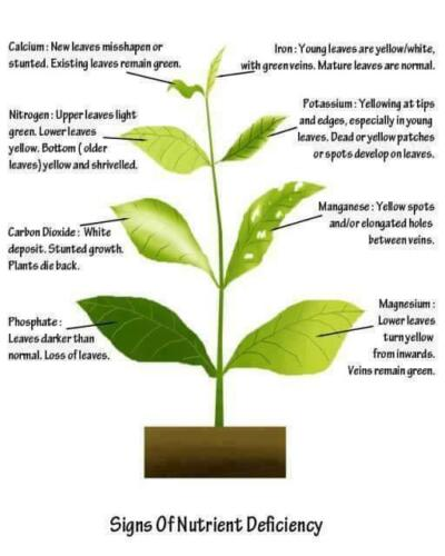 Chilli plant leaf deficiencies